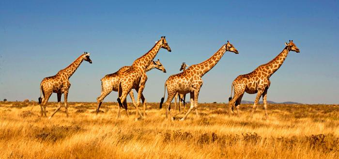 giraff2_Botsw